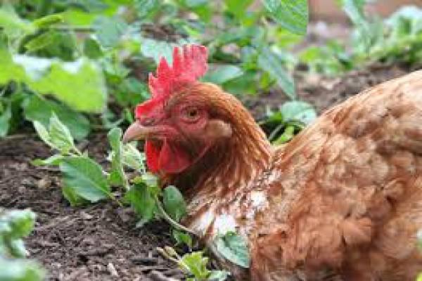 تزیع کود مرغی زیر قیمت-اهواز