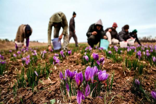 فروش زئولیت ویژه کاشت زعفران-بیرجند