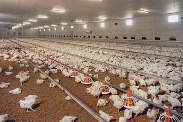 بازار کود مرغی-قم
