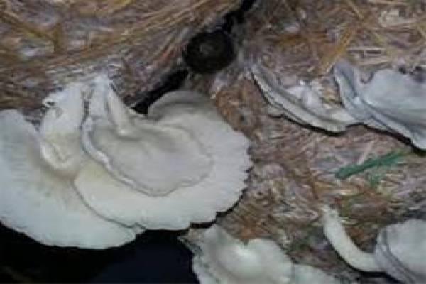 کمپوست پرورده قارچ گانودرما-ارومیه